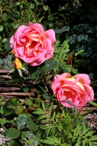 Roseraie - Octobre (2/4)