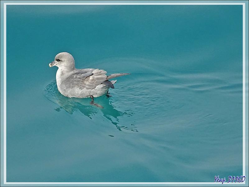 Fulmar boréal, Pétrel fulmar, Northern Fulmar (Fulmarus glacialis) - Détroit de Davis - Entre Groenland et Nunavut