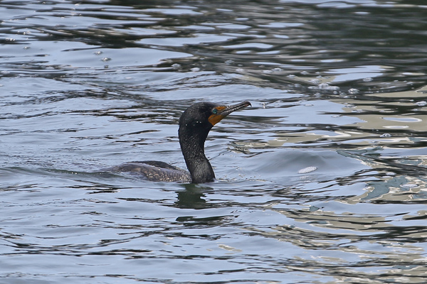 Rainbow Harbor - Double-crested Cormorant