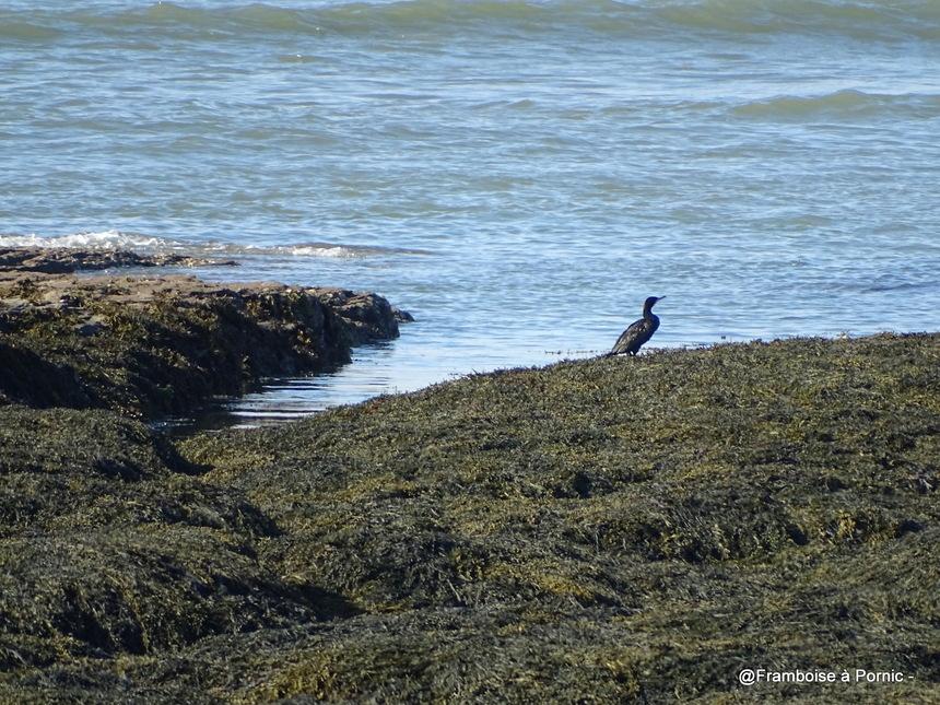 Les oiseaux de la Prée à la Plaine sur Mer - 44- Grand cormoran