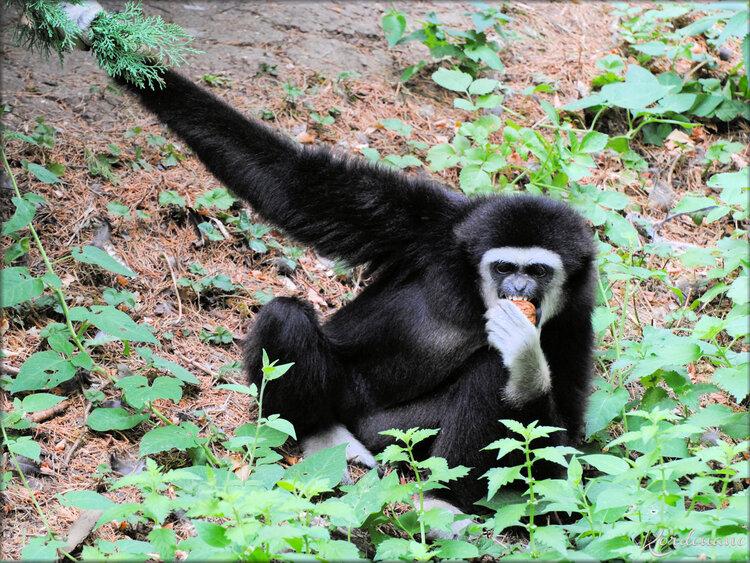 Gibbon à mains blanches (Zoo de Doué la Fontaine)