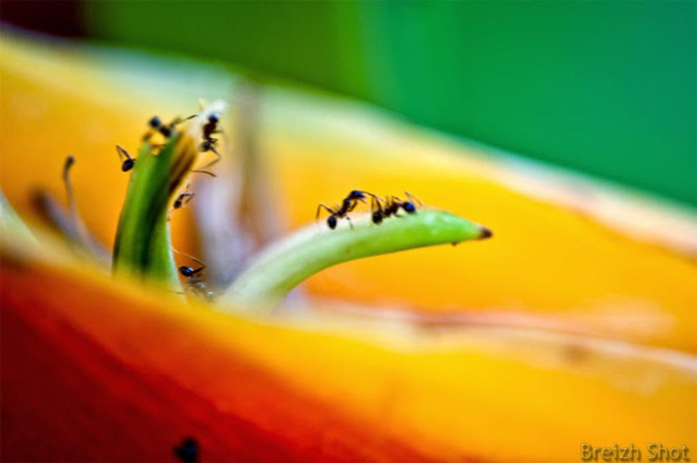 Fourmis sur un Heliconia à Bali
