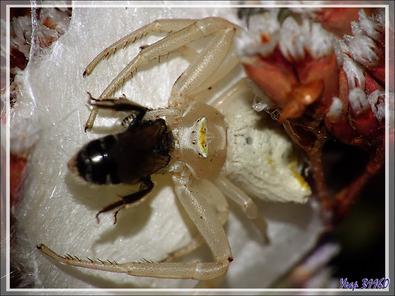 Araignée crabe Thomise enflée (Thomisus onustus) - Originaire de La Couarde - Île de Ré - 17