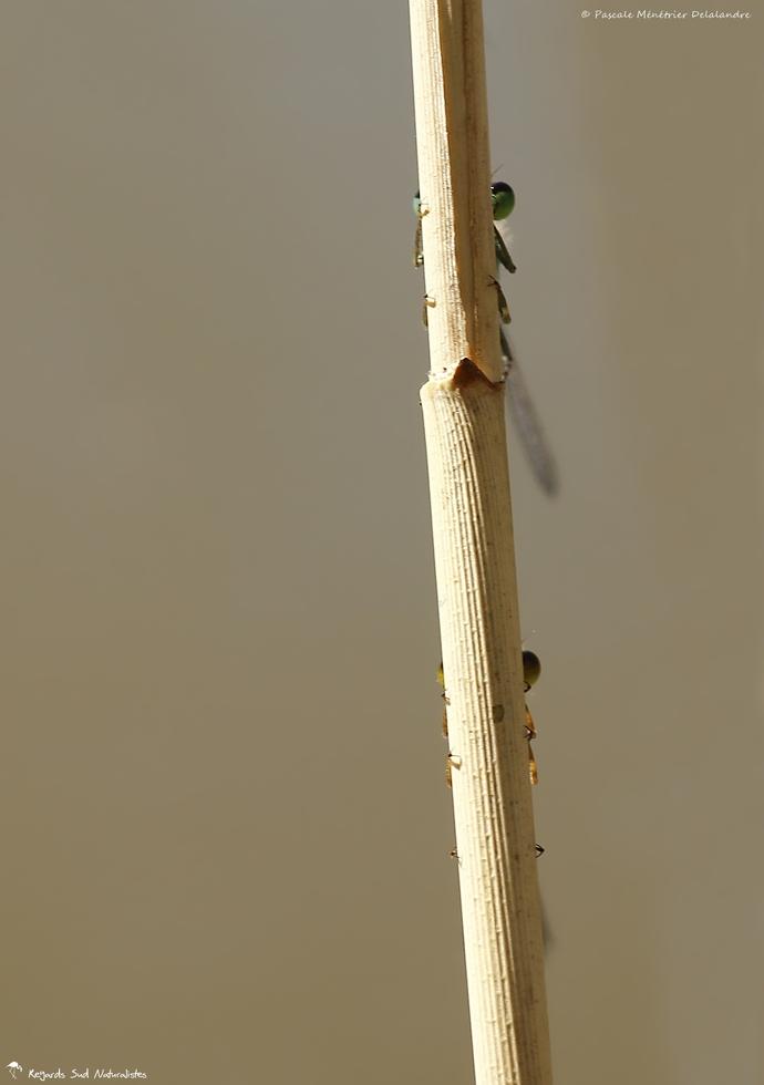 Cache-cache d'Ischnures élégantes
