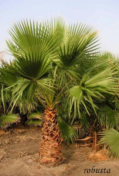 Plante d'Intérieur : WASHINGTONIA  (Palmiers)