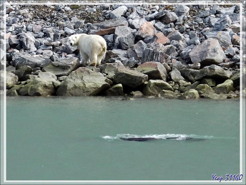 L' Ours blanc est très intéressé par le passage d'une baleine boréale dont il se régalerait bien ! - Icy Fjord - Nunavut
