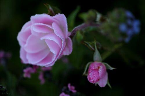Les Roses de Warren : Disco Lemonade