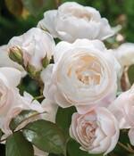 Inventaire des rosiers du jardin