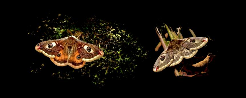 Le petit paon de nuit (2) Développement