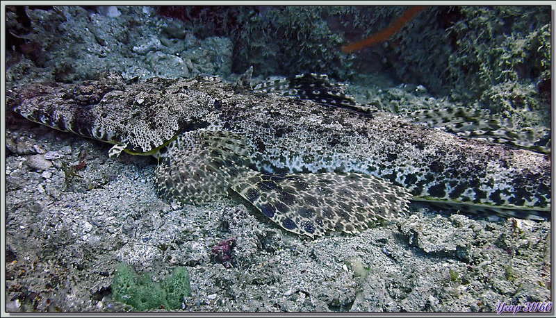 Poisson-crocodile tapis, Tête plate, Platycéphale tentaculé, Common crocodilefish, Carpet flathead (Papilloculiceps longiceps) - Les Tétons - Tsarabanjina - Mitsio - Madagascar