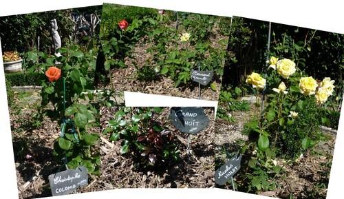 Récolte de la lavande et les nouveaux rosiers