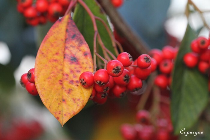 Cotoneaster 0442