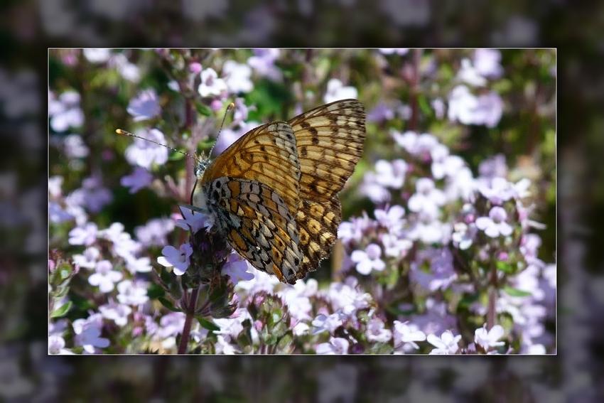 Papillonnant