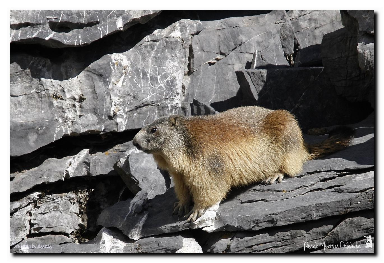 Marmottes - Marmota marmota