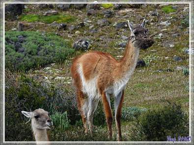 Guanacos (Lama glama guanacoe) - Torres del Paine - Patagonie - Chili