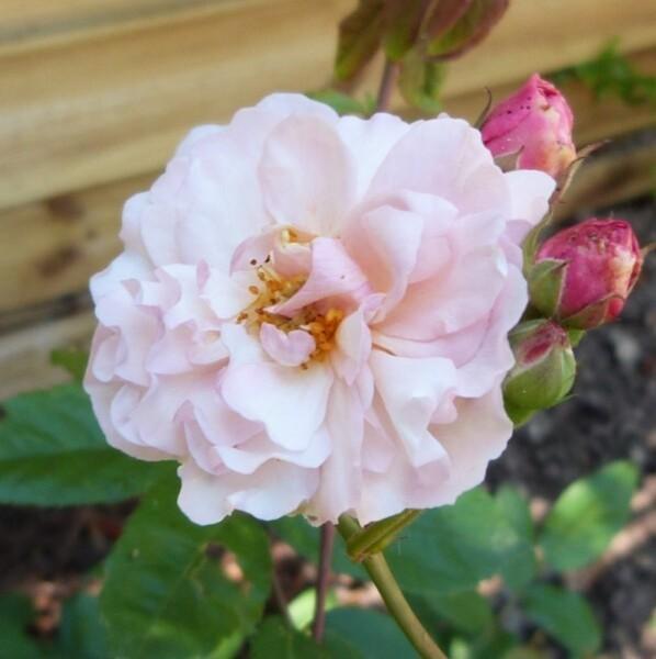 rosier-cornelia---juin-2014---une-rose-et-des-boutons--798.jpg