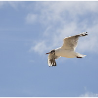Mouette Rieuse 1