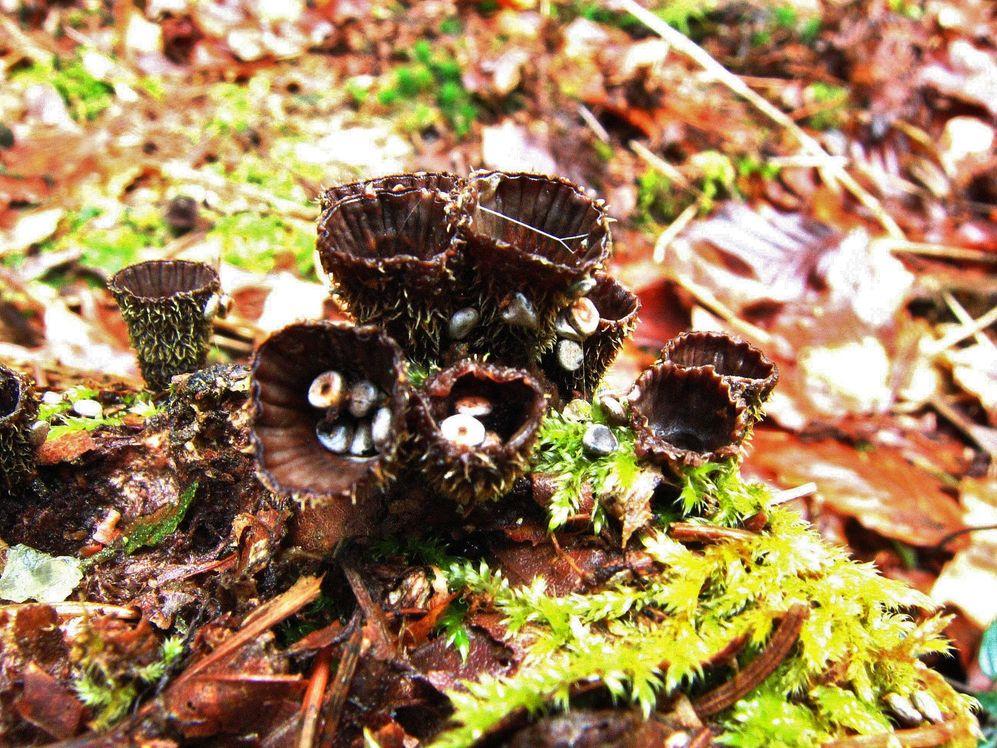 Cyathe strié  (Cyathus striatus)  nidulariaceae de l'ordre des Agaricales