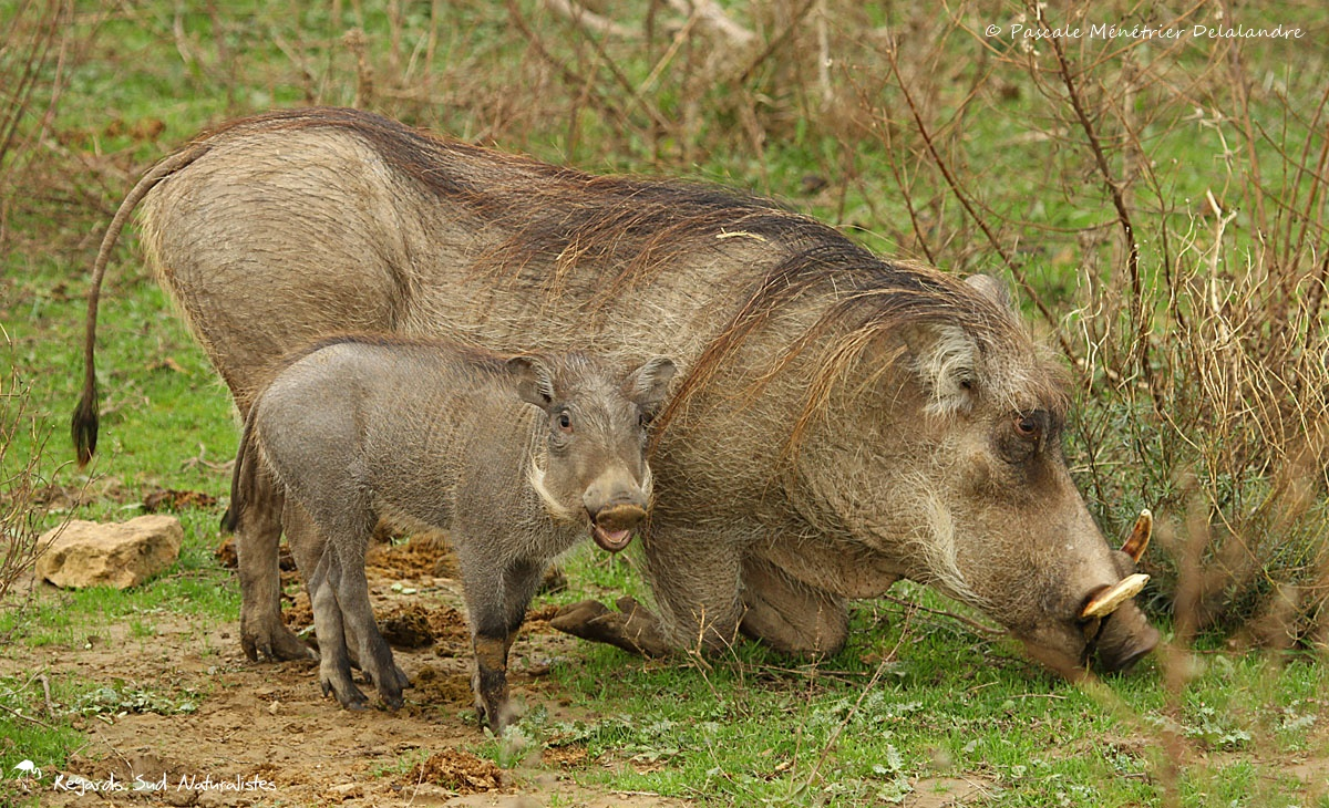 Maman Phacochère et son petit