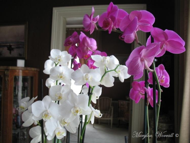 Encore des orchidées