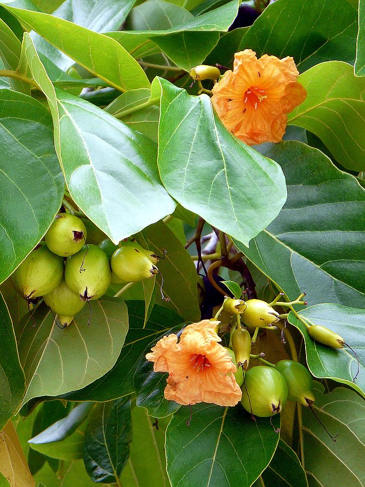 Arbre à fleurs orange - Huahine - Polynésie française