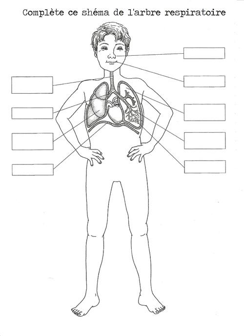 Schémas arbre respiratoire
