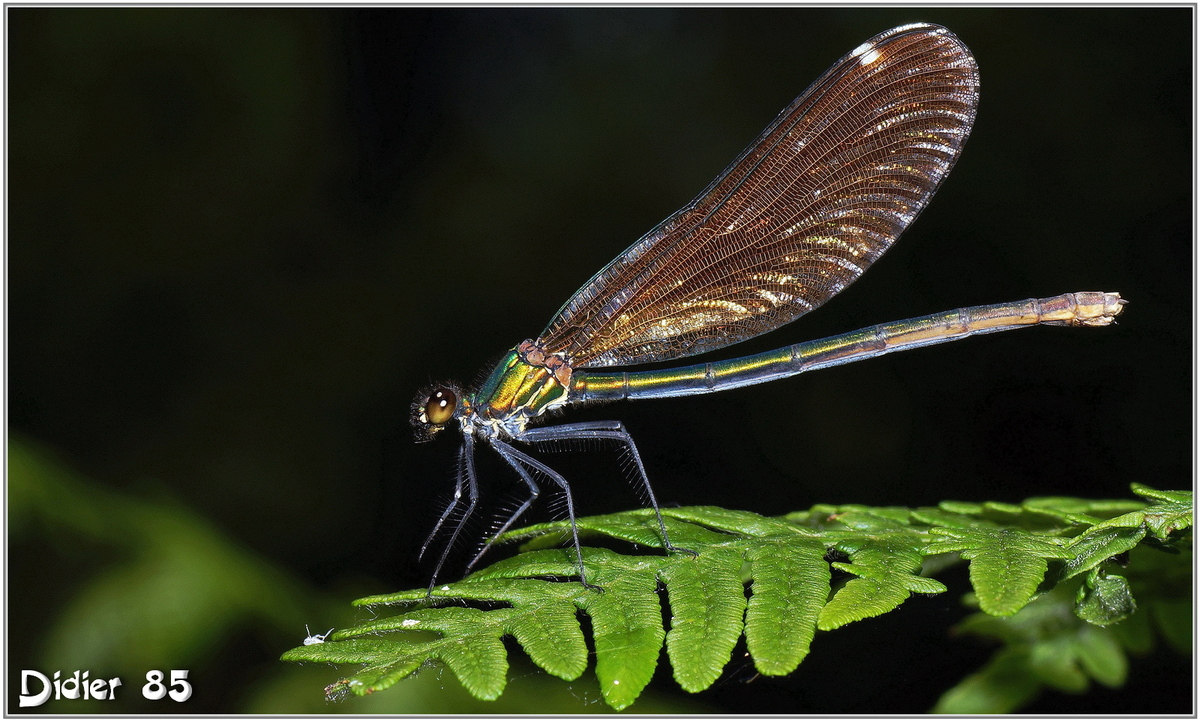 Caloptéryx Vierge (6) - Calopteryx virgo