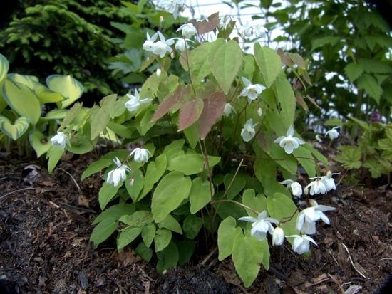 Epimedium youngianum Niveum