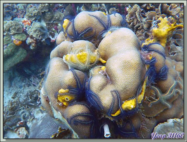 Blog de images-du-pays-des-ours : Images du Pays des Ours (et d'ailleurs ...), Plongée à Isla Bastimentos, Panama: Eponge bleue, Coraux, Ophiures fragiles (Brittle stars)