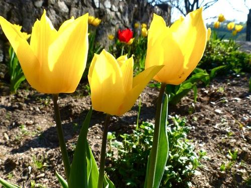 Papotage tulipe :