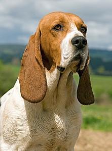 chien dartois4