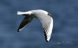 Mouette rieuse - p356