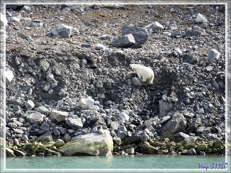 L'ours monte dans les éboulis, s'ébroue, puis va s'éloigner dans la montagne et disparaître à notre vue - Icy Fjord - Nunavut