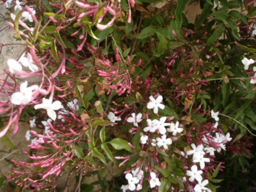 C'était ce printemps - Jasmin - Votre jardin resplendit au printemps ? Montrez-le !