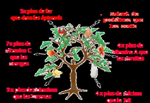 Le moringa, l'arbre magique
