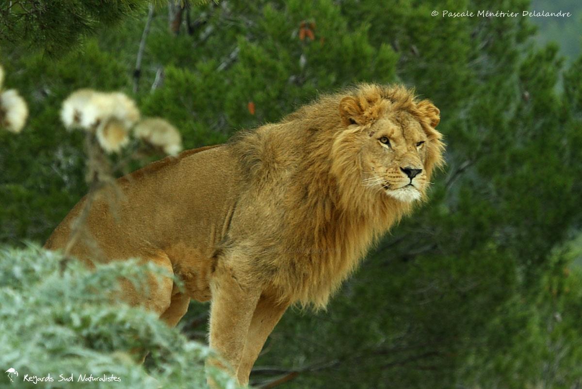 Lion (Pahthera leo)