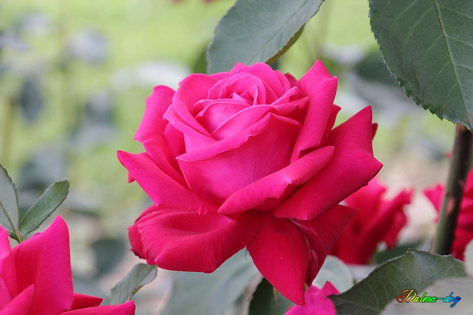 les roses de chez ma belle mère