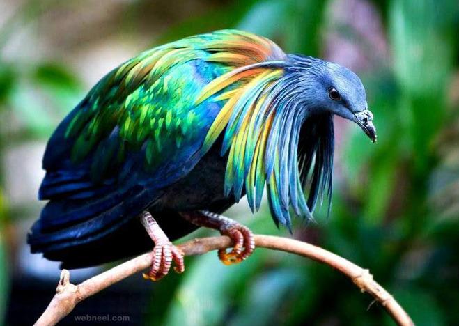 bird photography nicobar pigeon