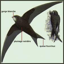 """Résultat de recherche d'images pour """"martinet oiseau"""""""