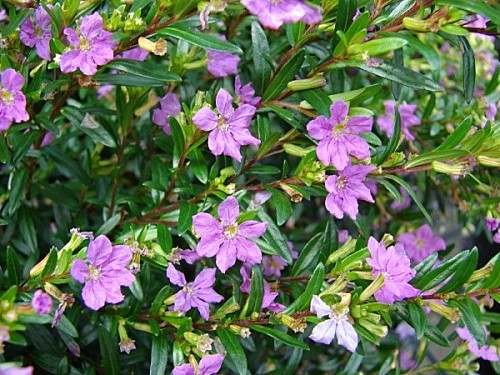 starr 070906 8482 cuphea hyssopifolia