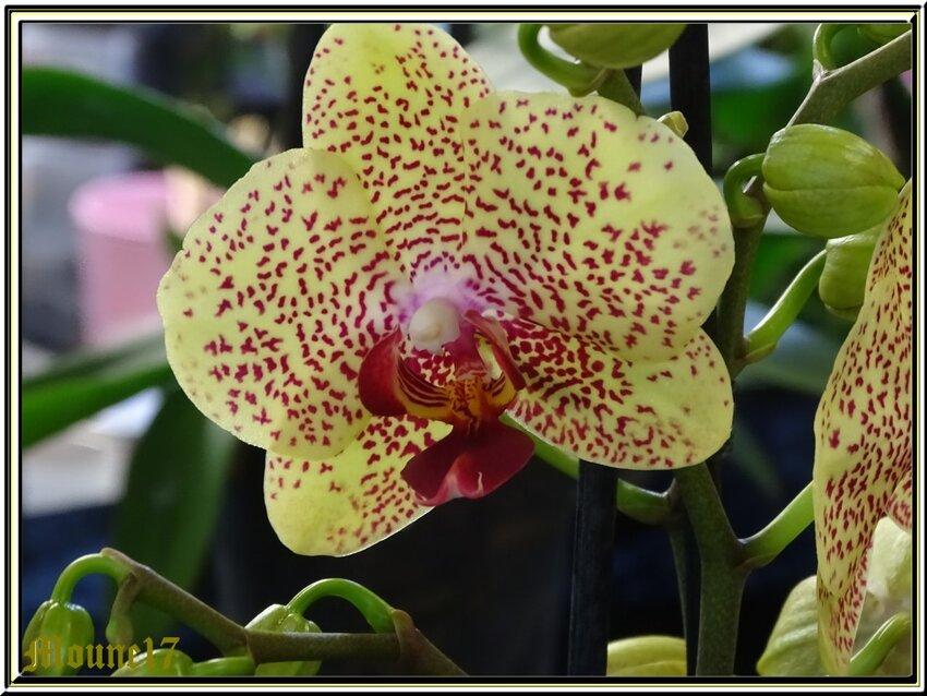 Exposition d'orchidées à La Jarne (17) le 08mars 2020