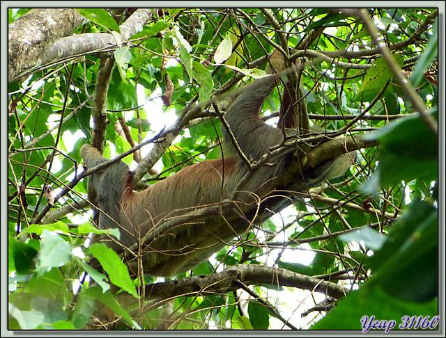 Blog de images-du-pays-des-ours : Images du Pays des Ours (et d'ailleurs ...), Paresseux au repos sur un lit inconfortable - Refuge de Faune Hacienda Barù - Dominical - Costa Rica