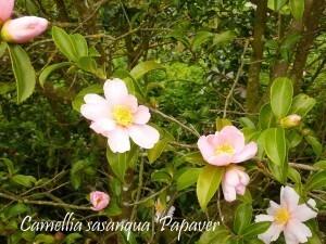 Camellia La Roche Jagu oct2010 007