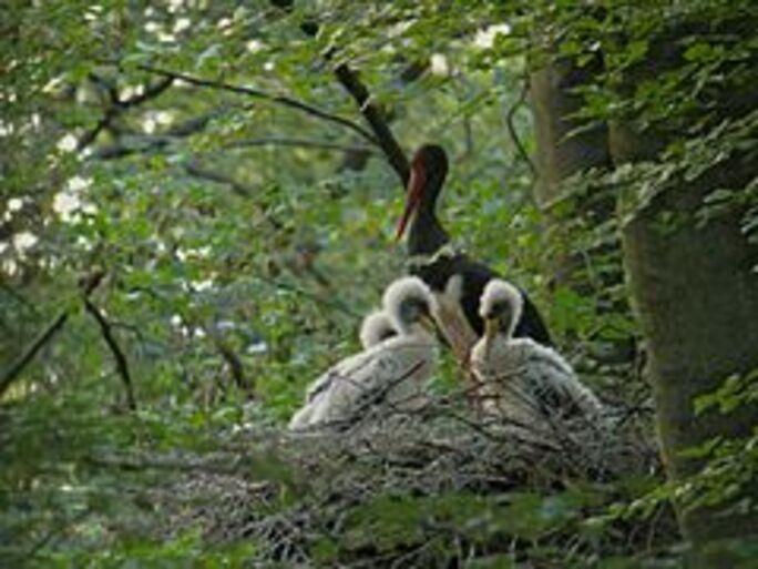 FP n° 48 - Les Cigognes noires du Gabon