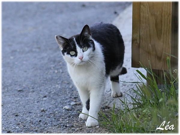 Animaux-5409-chat-noir-et-blanc.jpg
