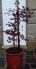acer palmetum bloodgood