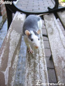 Photo Rat, Pudding - 08.06.11