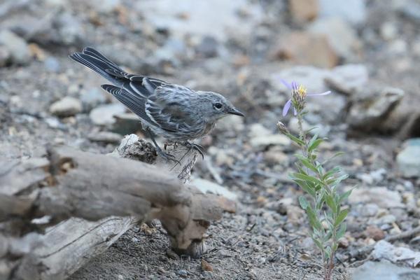 Paruline d'Audubon - Crater Lake