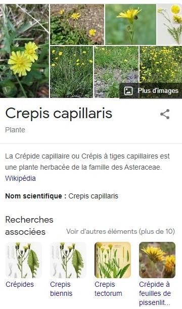 Tourterelles dans les Crépides capillaires