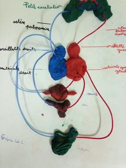 Maquette système respiratoire des CM2